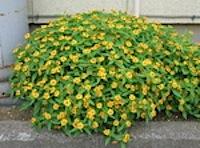 自宅に咲く花卉類。百日紅(サルスベリ) 普段は別に気にもとていないが、今日は気になります。 花の頃合いは7月から9月。さすがに「ヒャクジツコウ」の別名があり、 子供が小さく、仕事に追われているときは感心がありませんでした […]