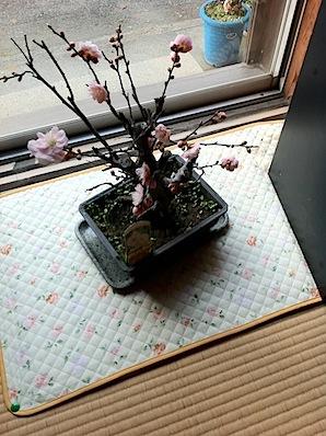 梅の鉢植え