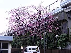 敷地の一角にある早咲きの桜です。 父が靖国神社から買って来た桜が今年も咲きました。雨つづきの日がようやく終わりかと思う頃。 過去ログを検索してみると「桜」ではヒットしませんが、靖国神社ではヒットします。 検索の構造に問題 […]