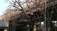 今年もさくらの季節になりました。 早咲きの桜ですので既に散って葉桜になっている部分もあります。 年々歳々いろいろうつろいがありますが、桜は変わりません。 ーーーーーーーーーーーーーーーーーーーーーーーーーーーーーーーーー […]