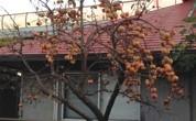今年も秋口になり果樹の収穫の時期になりました。タイミングよく手入れをしていればいいのですが 自宅のもので、気が向いたら手入れするというレベルでは常にきれいにという訳には行きません。 実がなったら穫る、手が空いたら手をかけ […]